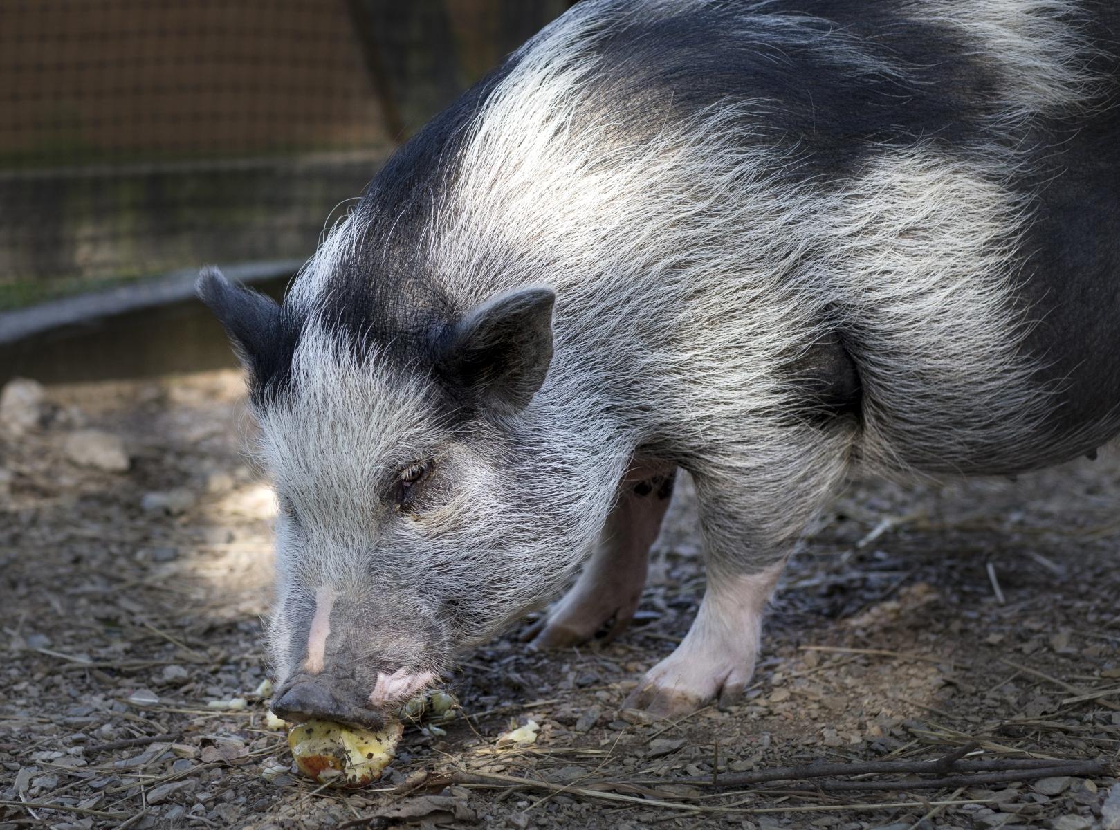 Pigsley